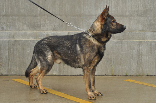 German-Shepherd-Drago-500