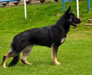 Our Dams German Shepherd Puppies For Sale Oregon Breeder
