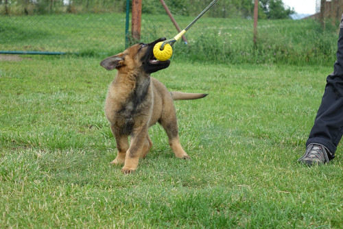 Lee z Neiberku German Shepherd Sire (7)